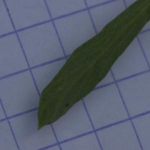 - Laserpitium gallicum L. [1753]