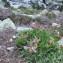 Dominique Remaud - Trifolium alpinum L.