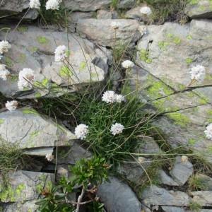 Photographie n°2098910 du taxon Statice cantabrica subsp. pubinervis (Boiss.) P.Fourn.