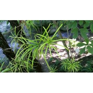 Sciadopitys verticillata (Thunb.) Siebold & Zucc. (Pin parasol du Japon)