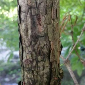 - Sciadopitys verticillata (Thunb.) Siebold & Zucc.