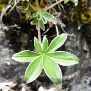 Photographie n°2099342 du taxon Potentilla alchemilloides Lapeyr. [1782]