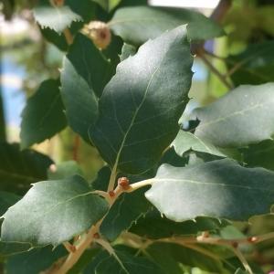 Photographie n°2099395 du taxon Quercus suber L. [1753]