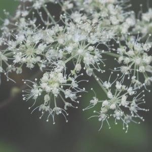 Photographie n°2099452 du taxon Angelica sylvestris L. [1753]