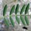 Liliane Roubaudi - Onobrychis viciifolia Scop.