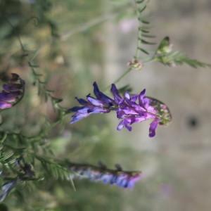 Photographie n°2099591 du taxon Vicia cracca L. [1753]