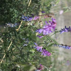 Photographie n°2099592 du taxon Vicia cracca L. [1753]