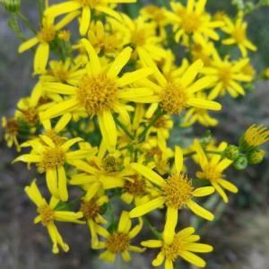 Photographie n°2099855 du taxon Jacobaea vulgaris Gaertn. [1791]