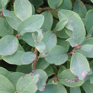 Photographie n°2099975 du taxon Vaccinium uliginosum L. [1753]