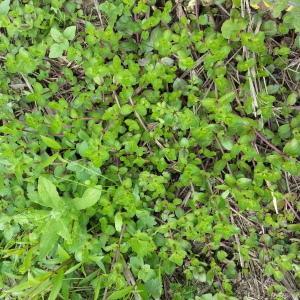 Photographie n°2099999 du taxon Veronica beccabunga L.