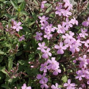 Photographie n°2100091 du taxon Saponaria ocymoides L.
