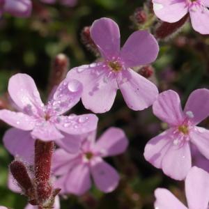 Photographie n°2100092 du taxon Saponaria ocymoides L.