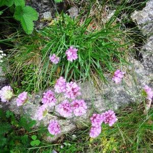 Photographie n°2100174 du taxon Armeria alpina Willd. [1809]