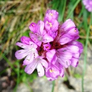 Photographie n°2100175 du taxon Armeria alpina Willd. [1809]