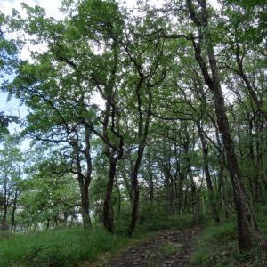 Photographie n°2100317 du taxon Quercus pubescens Willd. [1805]