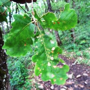 Photographie n°2100318 du taxon Quercus pubescens Willd. [1805]