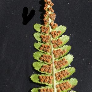 Photographie n°2100500 du taxon Dryopteris filix-mas (L.) Schott [1834]