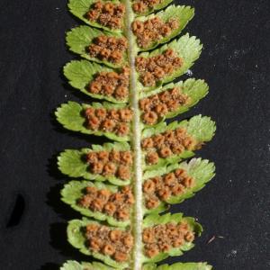 Photographie n°2100502 du taxon Dryopteris filix-mas (L.) Schott [1834]