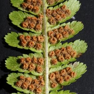 Photographie n°2100503 du taxon Dryopteris filix-mas (L.) Schott [1834]