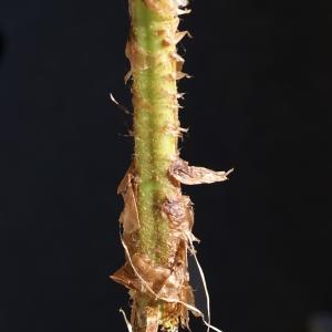 Photographie n°2100509 du taxon Dryopteris filix-mas (L.) Schott [1834]