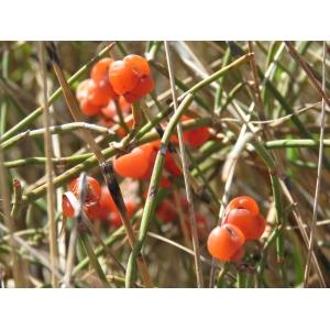 Ephedra distachya L. subsp. distachya f. distachya