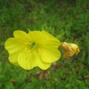 Photographie n°2100697 du taxon Oenothera biennis L. [1753]