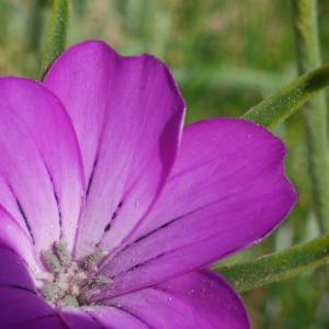 Photographie n°2101052 du taxon Agrostemma githago L. [1753]