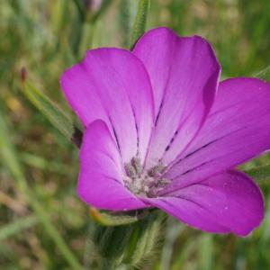 Photographie n°2101053 du taxon Agrostemma githago L. [1753]