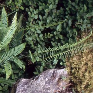 Photographie n°2101108 du taxon Blechnum spicant (L.) Roth