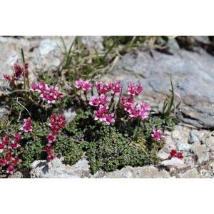 Saxifraga retusa subsp. wulfeniana (Schott) P.Fourn. (Saxifrage à feuilles rétuses)