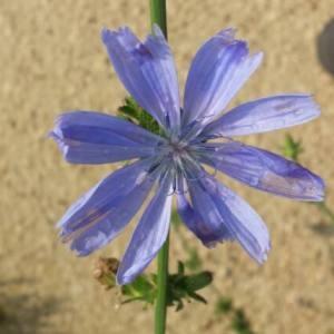 Photographie n°2101470 du taxon Cichorium intybus L. [1753]