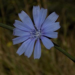 Photographie n°2101675 du taxon Cichorium intybus L. [1753]