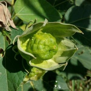 - Hibiscus palustris L. [1753]