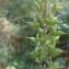 Florent Beck - Aconitum lycoctonum L. [1753]