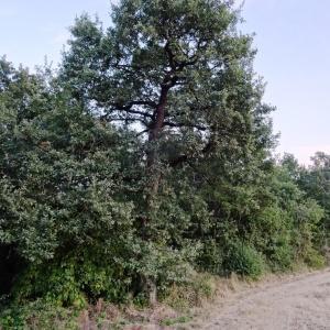 Photographie n°2101847 du taxon Quercus pubescens Willd. [1805]