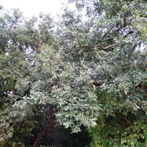 Photographie n°2101848 du taxon Quercus pubescens Willd. [1805]