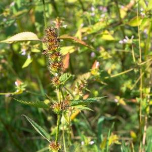 Photographie n°2101854 du taxon Galeopsis tetrahit L.