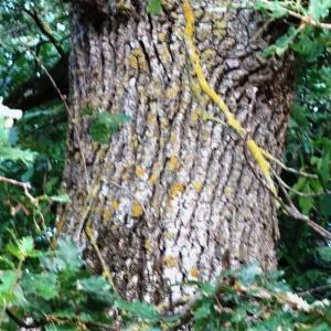 Photographie n°2101857 du taxon Quercus pubescens Willd. [1805]