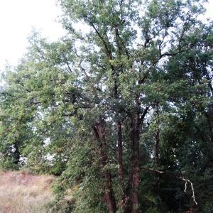 Photographie n°2101858 du taxon Quercus pubescens Willd. [1805]