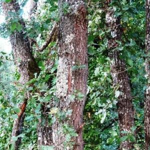 Photographie n°2101859 du taxon Quercus pubescens Willd. [1805]