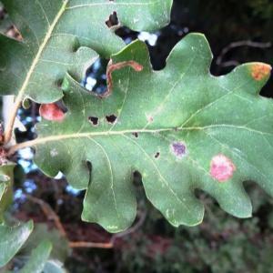 Photographie n°2101863 du taxon Quercus pubescens Willd. [1805]