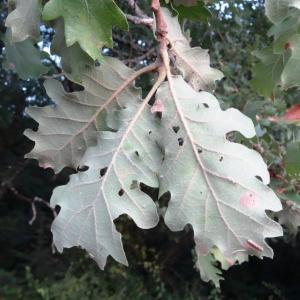 Photographie n°2101865 du taxon Quercus pubescens Willd. [1805]
