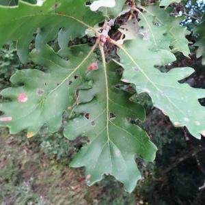 Photographie n°2101870 du taxon Quercus pubescens Willd. [1805]