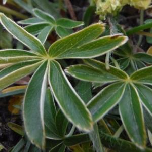 Photographie n°2101904 du taxon Alchemilla alpina L.