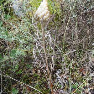 Photographie n°2101947 du taxon Rhaponticum coniferum subsp. coniferum