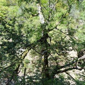 Photographie n°2102095 du taxon Fagus sylvatica L.