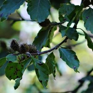 Photographie n°2102096 du taxon Fagus sylvatica L.