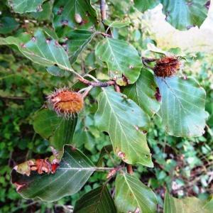 Photographie n°2102097 du taxon Fagus sylvatica L.