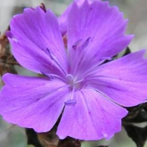 Photographie n°2102101 du taxon Dianthus balbisii Ser. [1824]