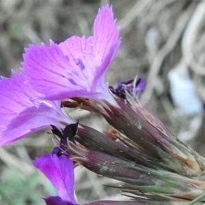 Photographie n°2102102 du taxon Dianthus balbisii Ser. [1824]